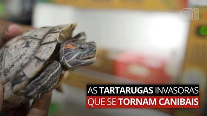As tartarugas invasoras que se tornam canibais