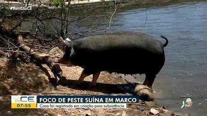 Cidade de Marco registra foco de peste suína