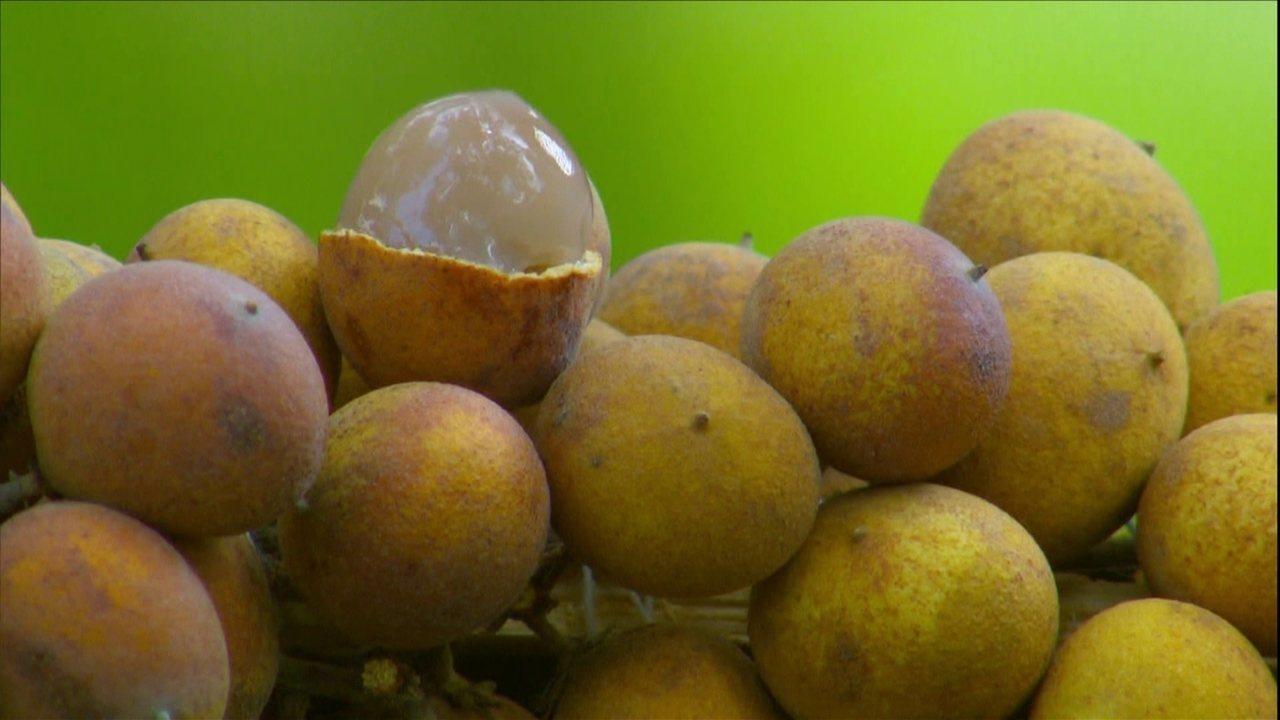 Pitomba é fruto típico do Nordeste e dá nome até a bloco de carnaval