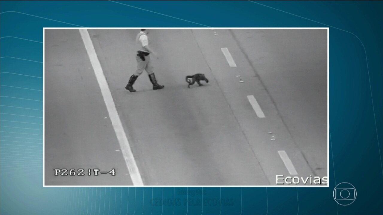 Macaco tenta atravessar pista da Rodovia dos Imigrantes