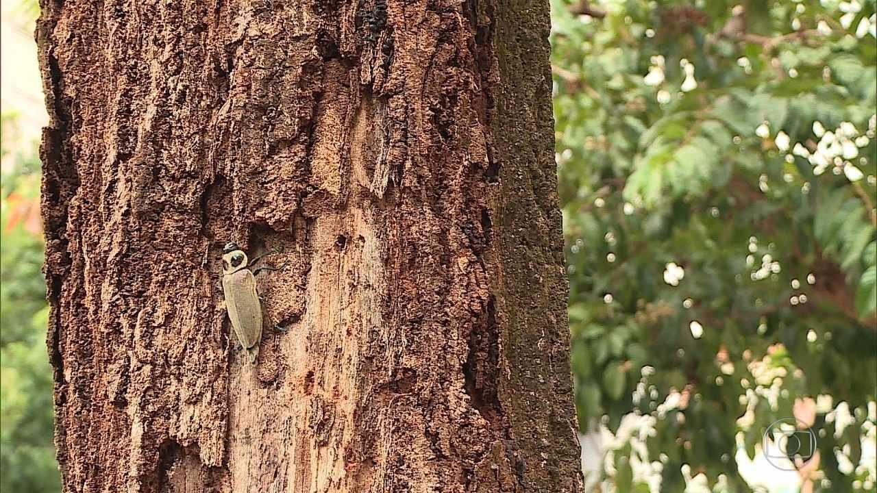 Setenta e sete árvores de BH já foram cortadas por causa de infestação de besouro metálico