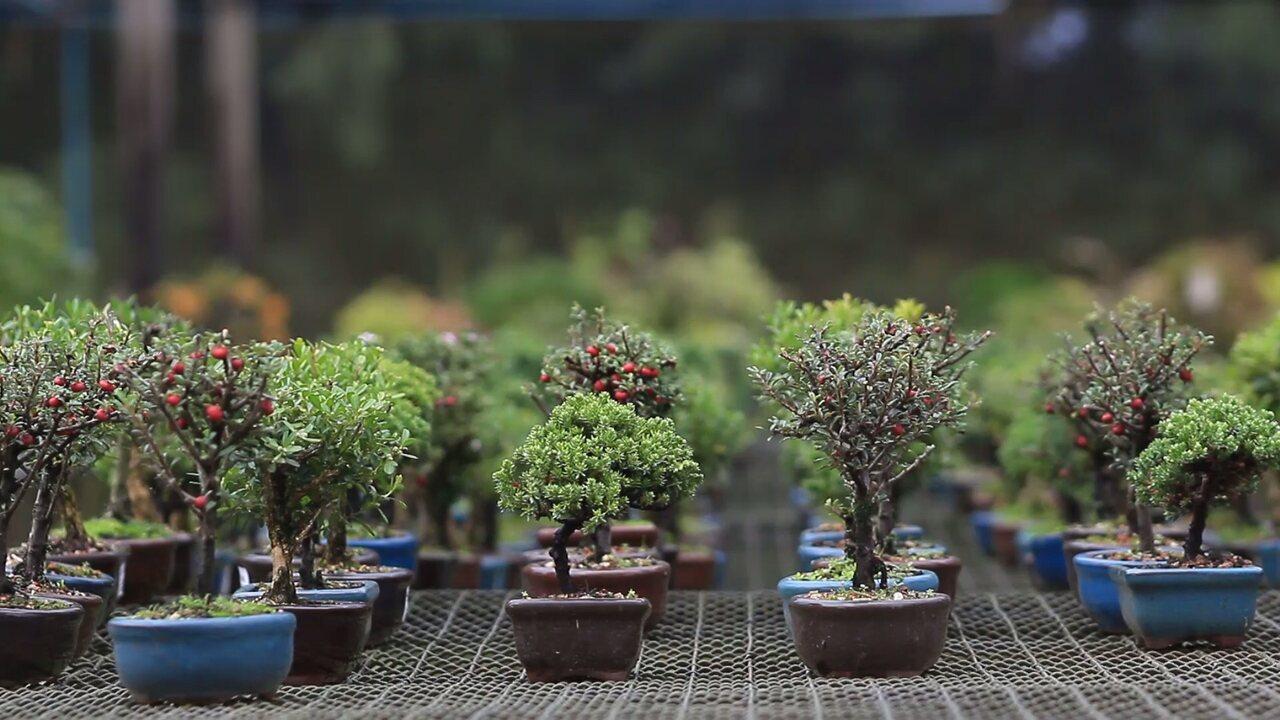 Bonsai, gigantes transformados em miniaturas (parte 1)
