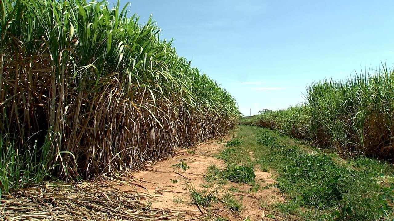 Soja é opção para recuperar solo de canavial no Noroeste de São Paulo
