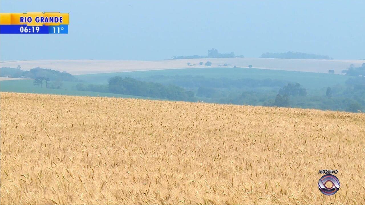 Preço do trigo provoca redução da área plantada com o grão no RS