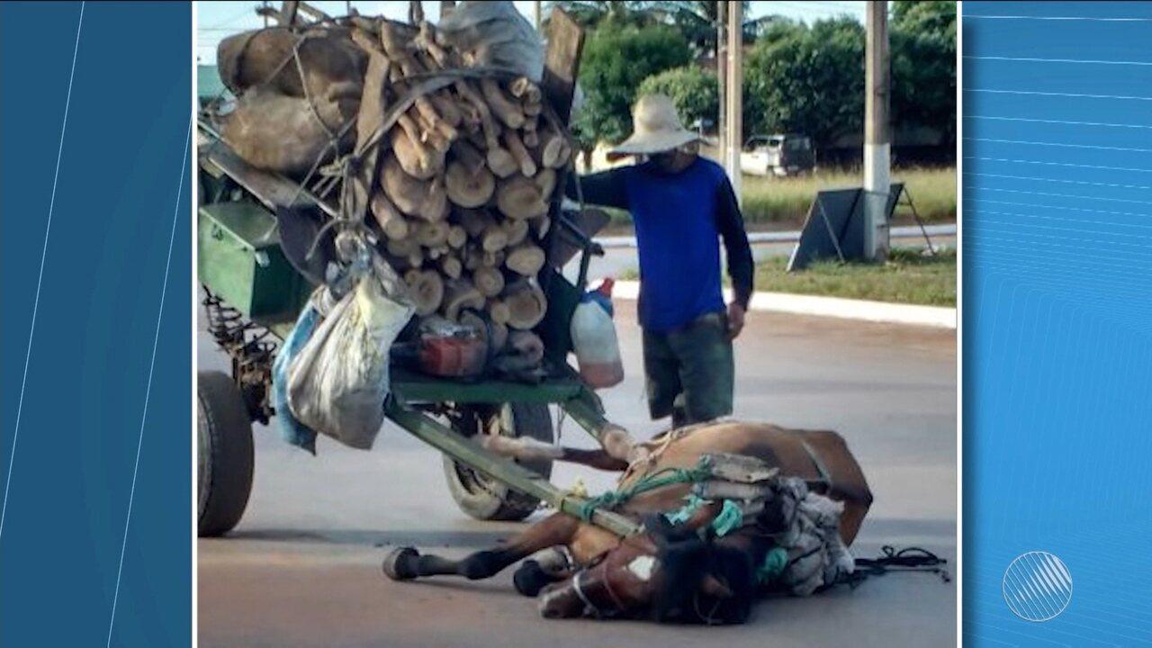 Cavalo 'desmaia' por não suportar peso de carga em carroça e dono é detido