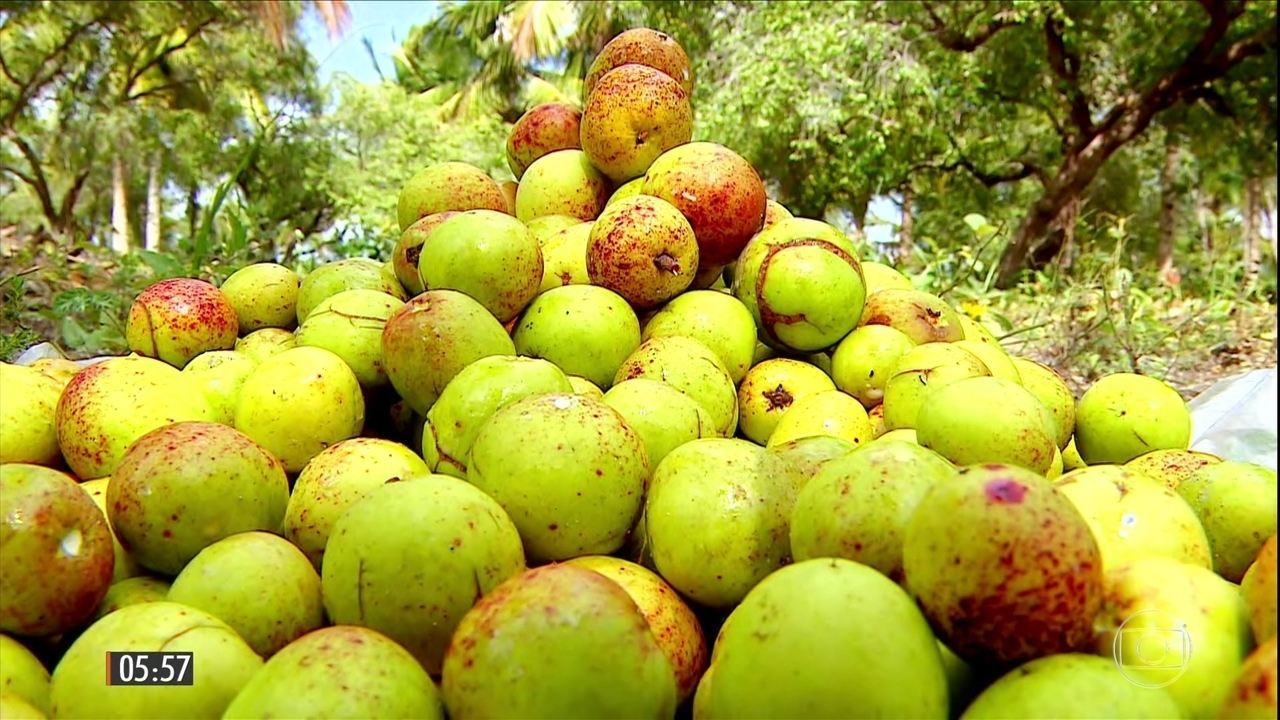Mangaba é azedinha e serve para preparo de várias receitas