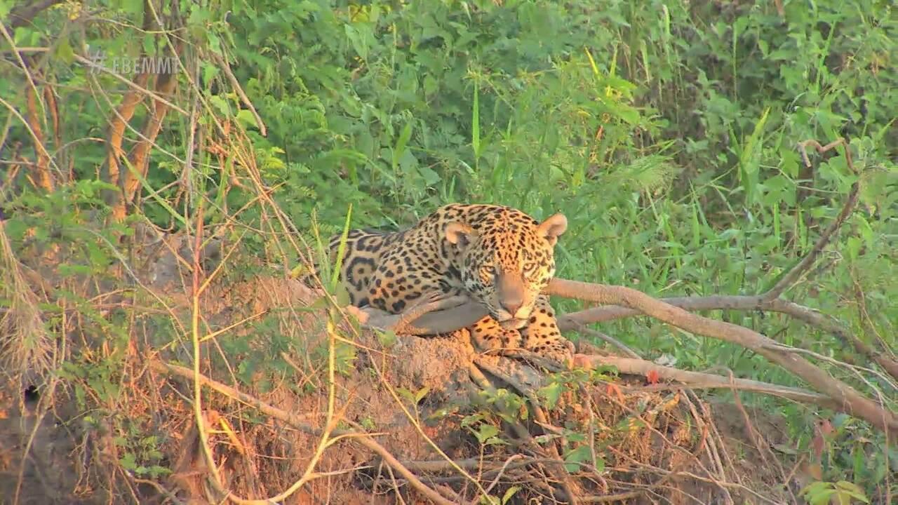 Rotas Naturais: Adriano Soares leva Johnny Everson ao pantanal pra ver a onça pintada - 02