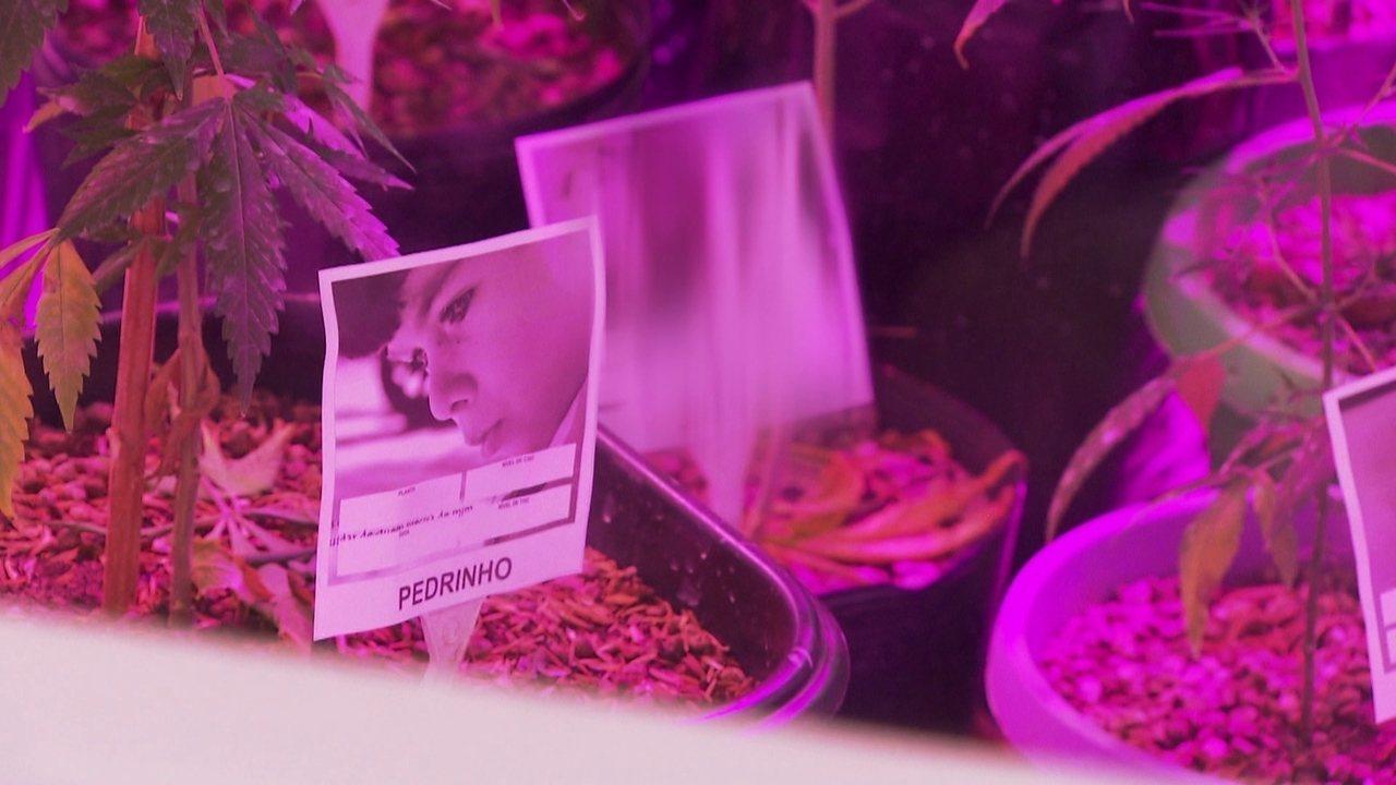 Paraíba tem o primeiro cultivo legal de maconha para uso medicinal no Brasil