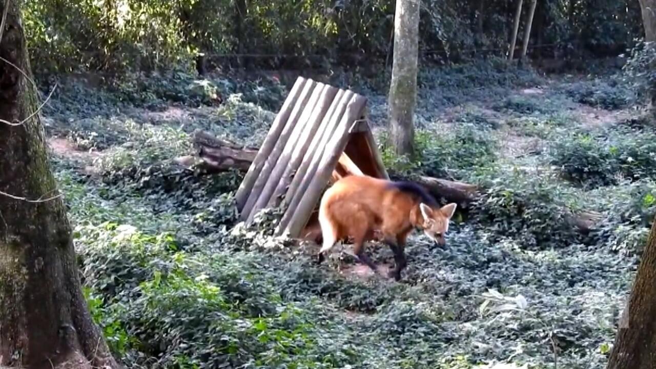 Filhotes de lobo-guará nascem no zoológico de Bauru