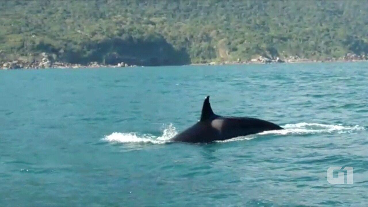 Cinco orcas são avistadas em Ilhabela