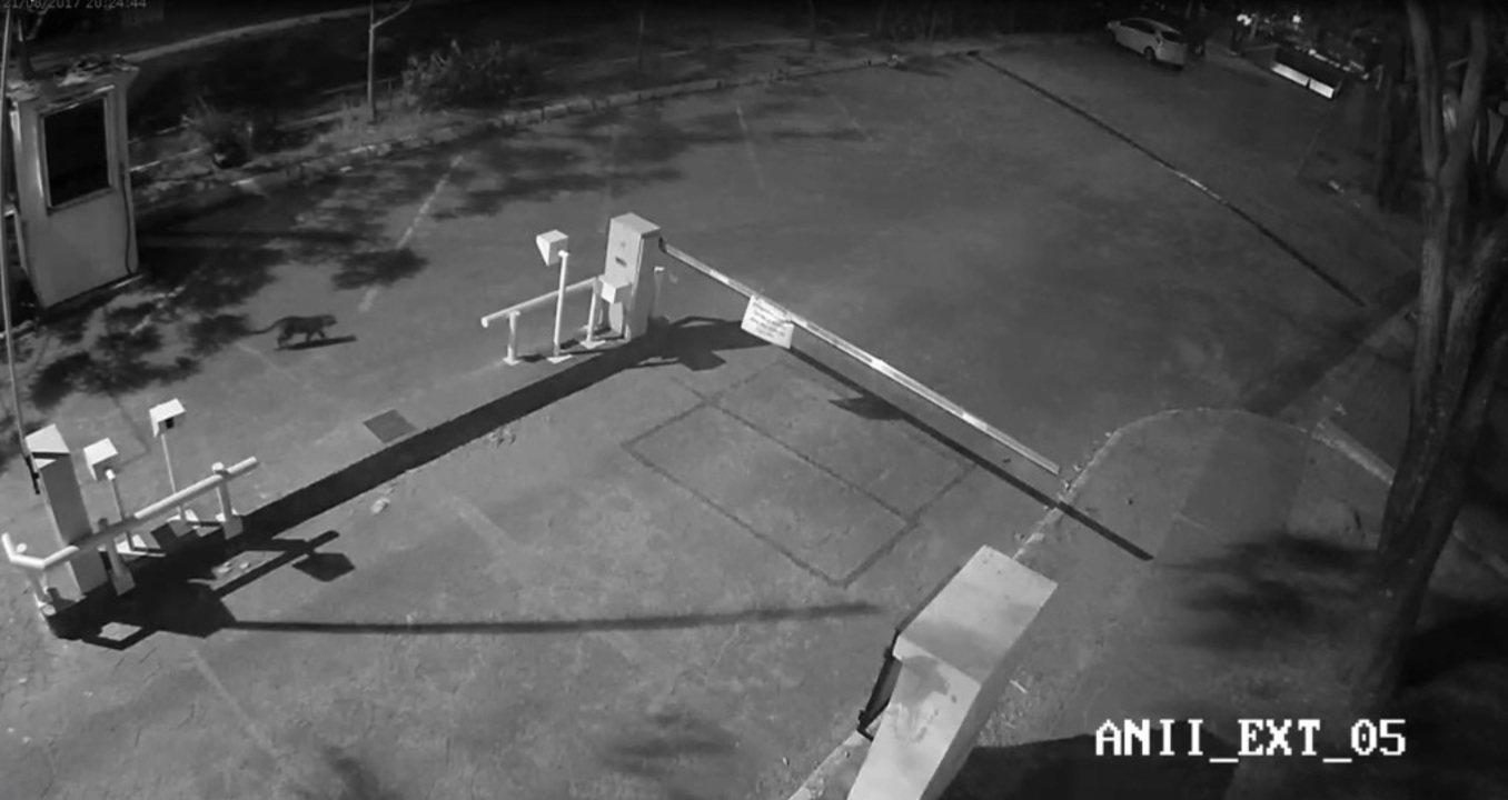 Vídeo de câmera de segurança mostra onça circulando no Palácio do Itamaraty em Brasília