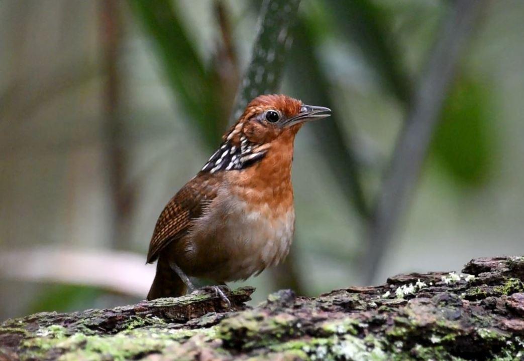 Canto do uirapuru-verdadeiro, o músico da floresta, é registrado por fotógrafo da natureza