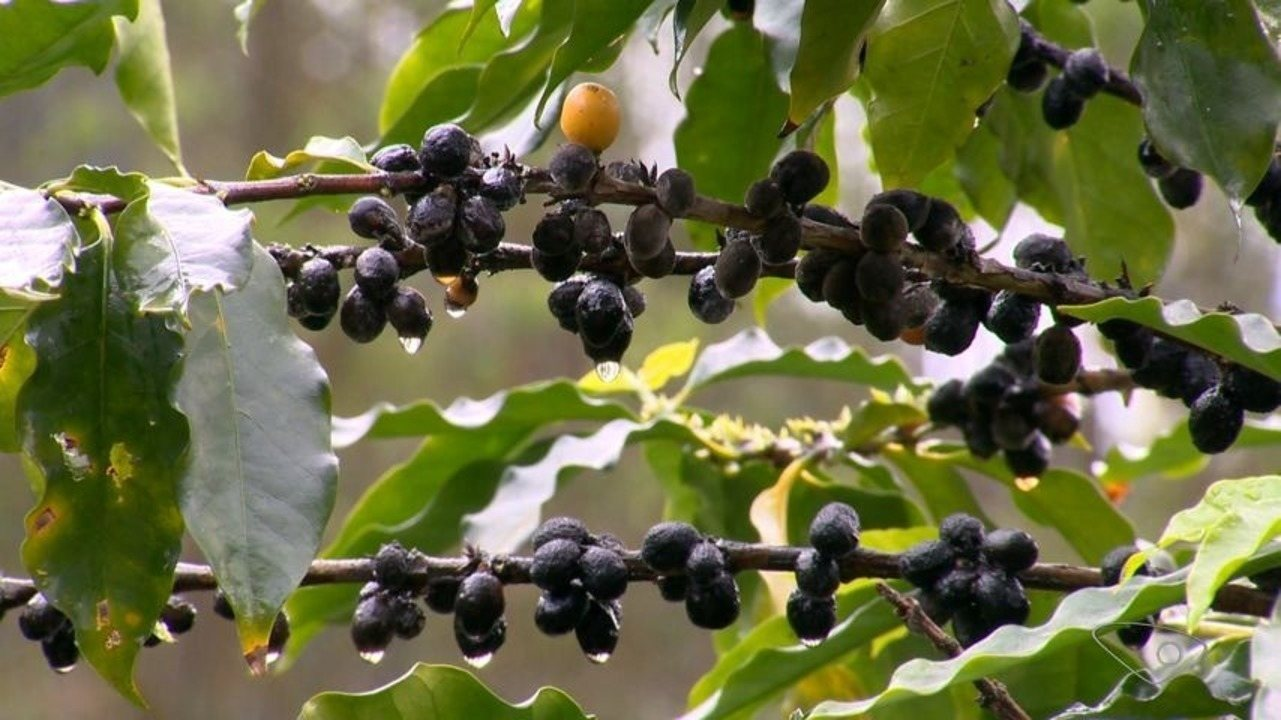 Exportação de café capixaba deve ser a menor dos últimos 35 anos