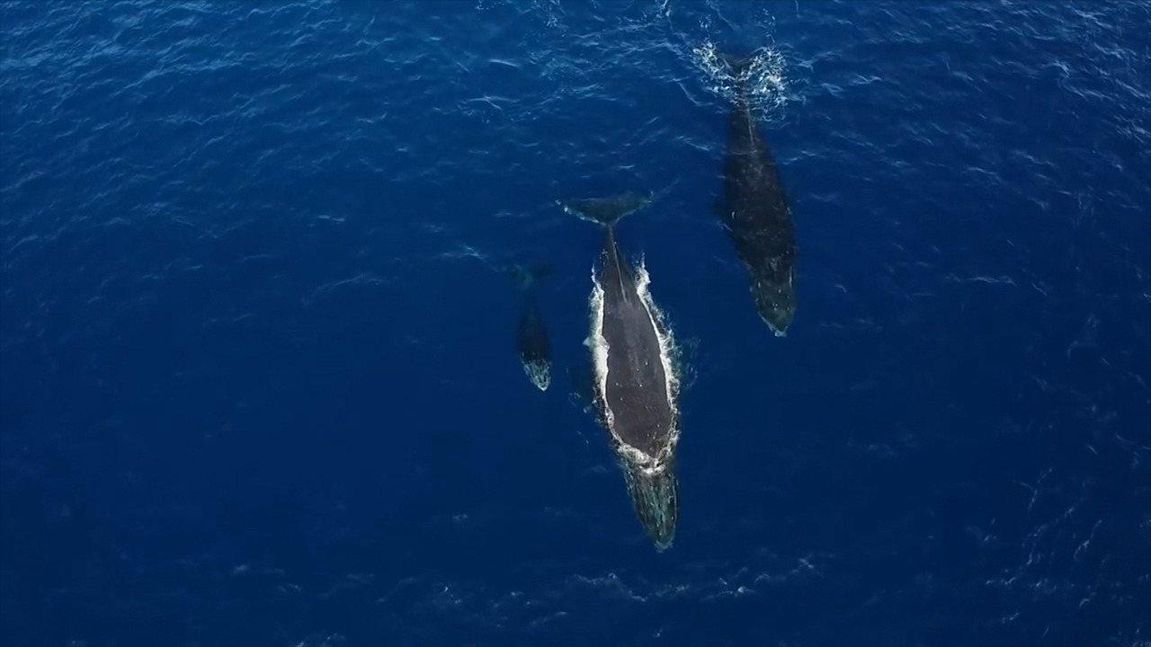 Timbó vai a Praia do Forte assistir ao show aeróbico do nado das baleias jubartes