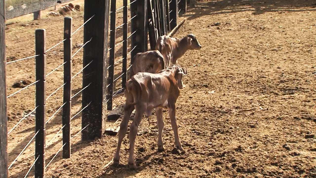 Vaca dá à luz 3 bezerros em uma só gestação no inteiror do estado