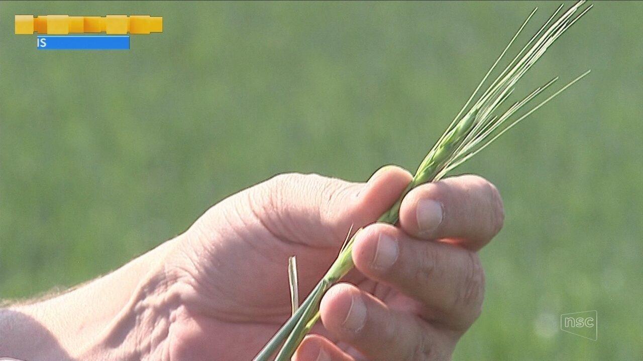 Safra de trigo deve ser 30% menor por causa da estiagem