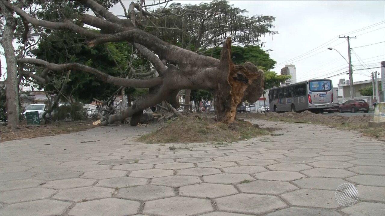 árvore Cai E Interdita Parte De Canteiro Central De Avenida Em Feira