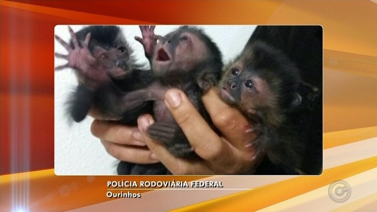 Filhotes de macaco-prego são apreendidos em bagageiro de ônibus em Ourinhos