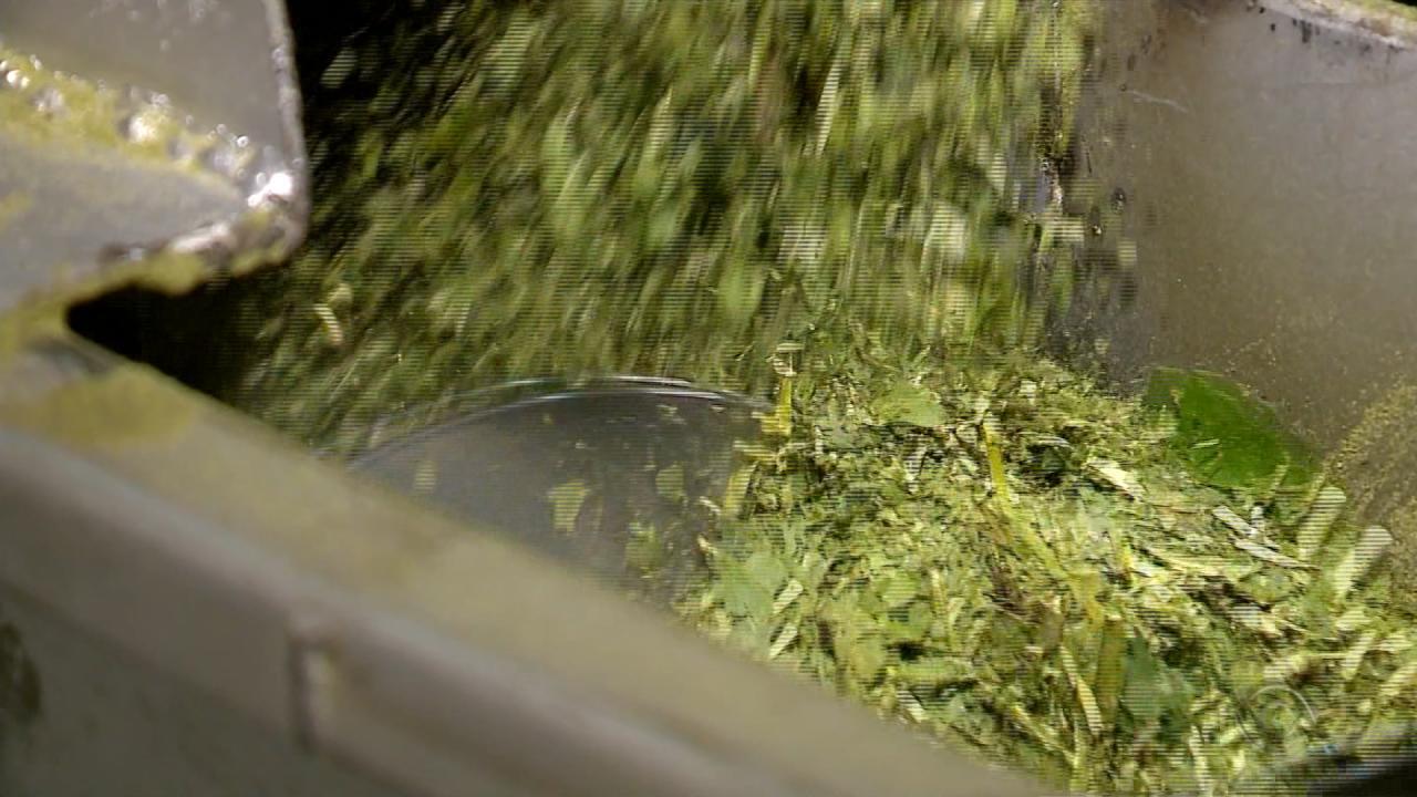 Produtores de erva-mate de Ilópolis investem no plantio orgânico