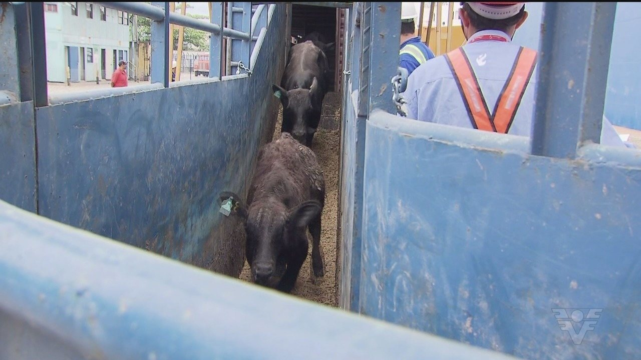 Animais vivos estão sendo embarcados no Porto de Santos