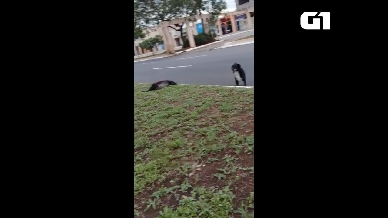 Cachorro emociona ao ficar do lado de cadela atropelada em Palmas