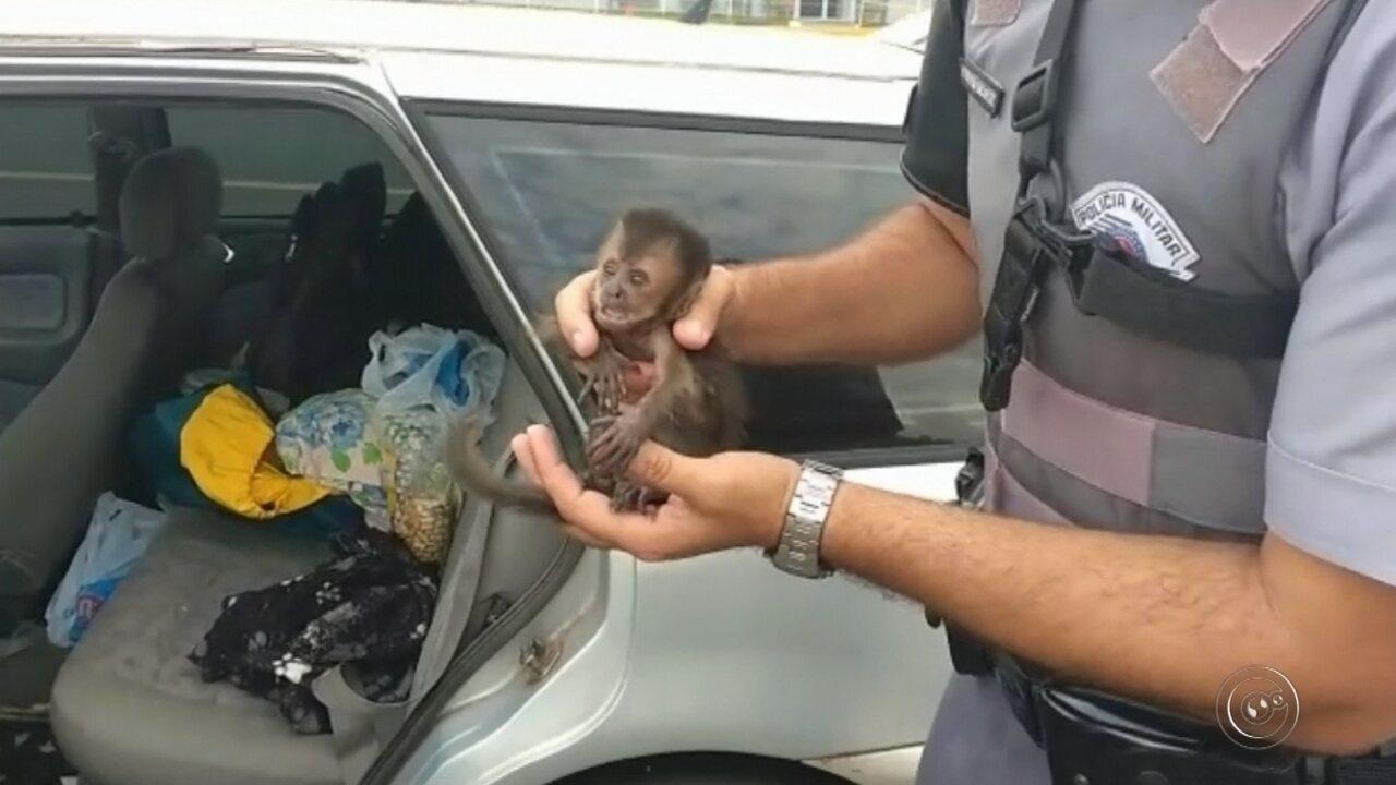 Casal é flagrado com cinco filhotes de macaco-prego e multado em R$ 82 mil