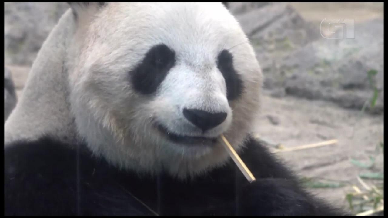 Filhote de panda é apresentada em evento em zoológico no Japão