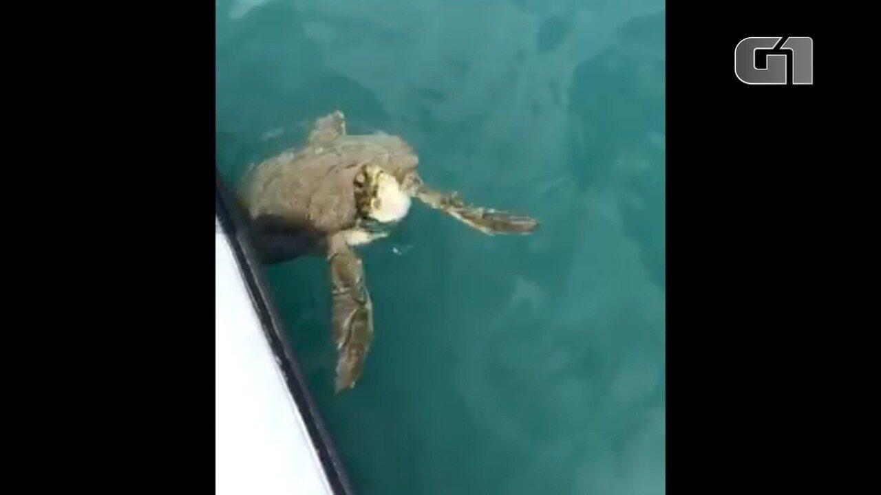 Tartaruga nada próximo a lancha em São Sebastião