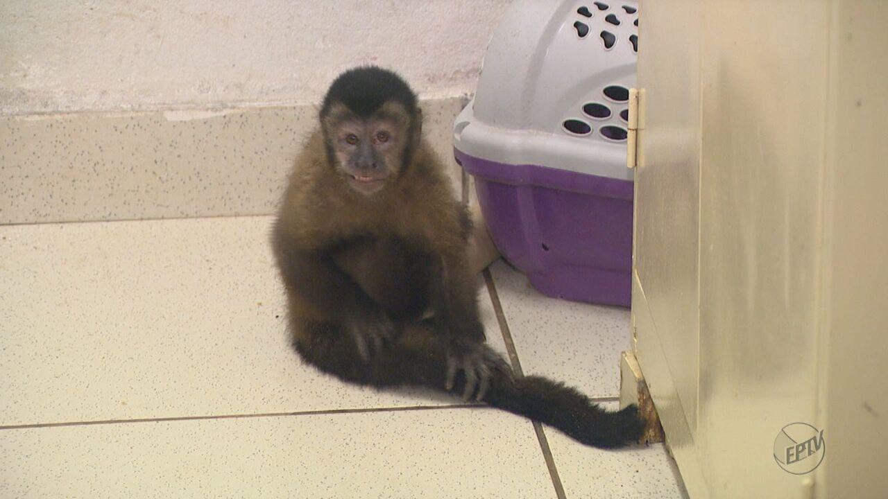 Parque Ecológico de São Carlos, SP, atende macacos vítimas maus-tratos
