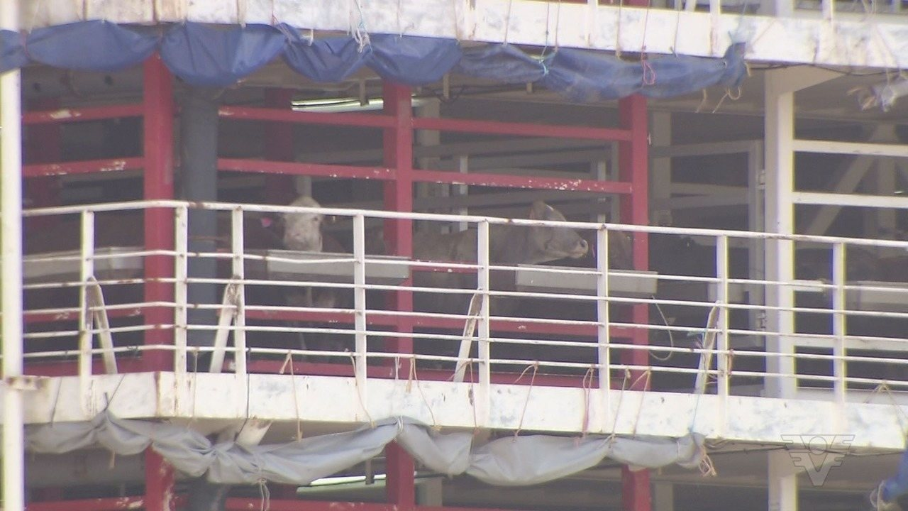 Nova decisão da Justiça impede partida do navio com mais de 25 mil bois do Porto de Santos