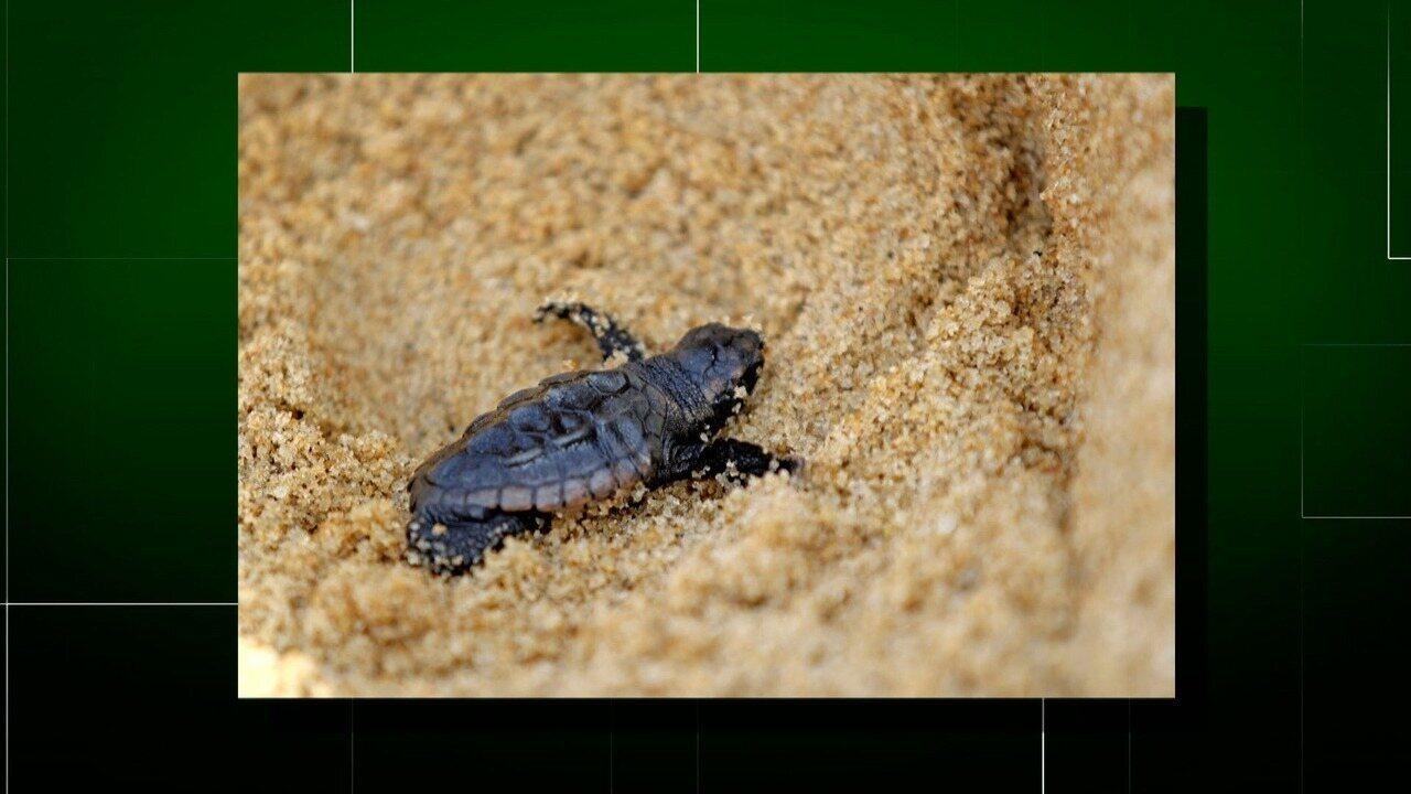 Ninho com ovos e filhotes de tartaruga é encontrado pela primeira vez em praia de Macaé
