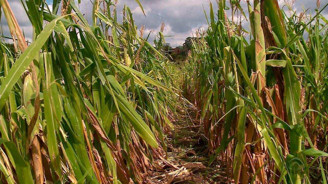 Chuva de granizo causa prejuízo de R$ 18 milhões na agricultura em São Lourenço do Sul