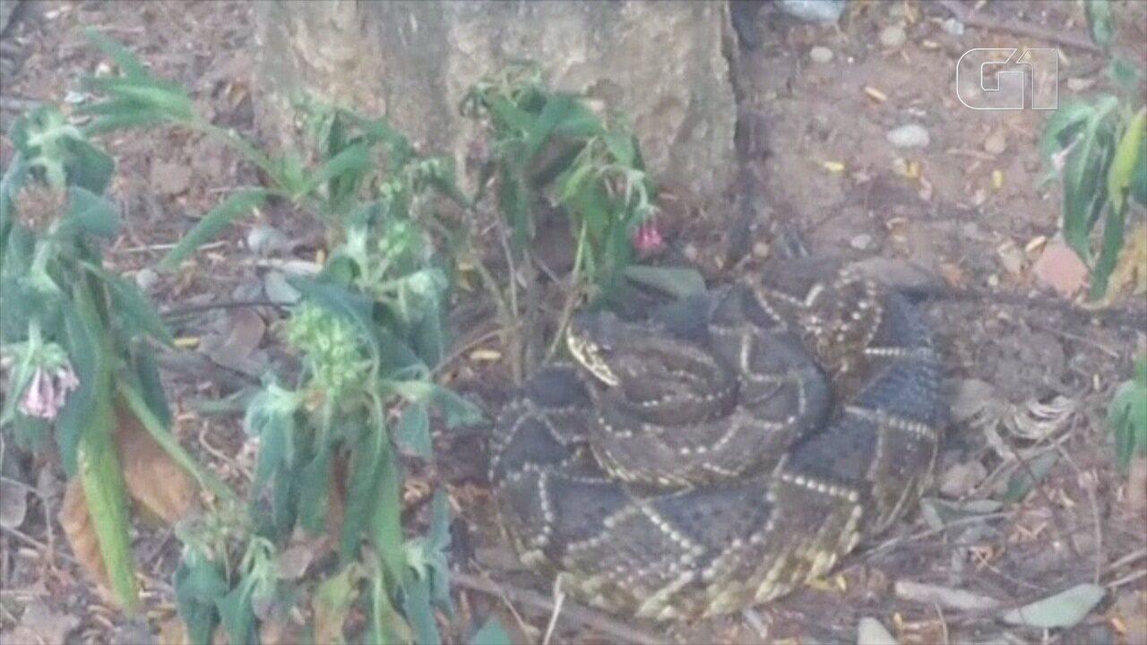Cobra é flagrada no centro de São José dos Campos, SP