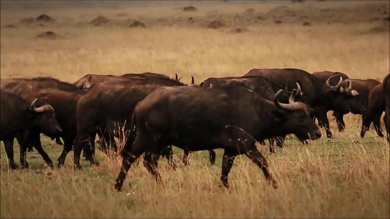 Brasil tem o maior rebanho de búfalos do Ocidente