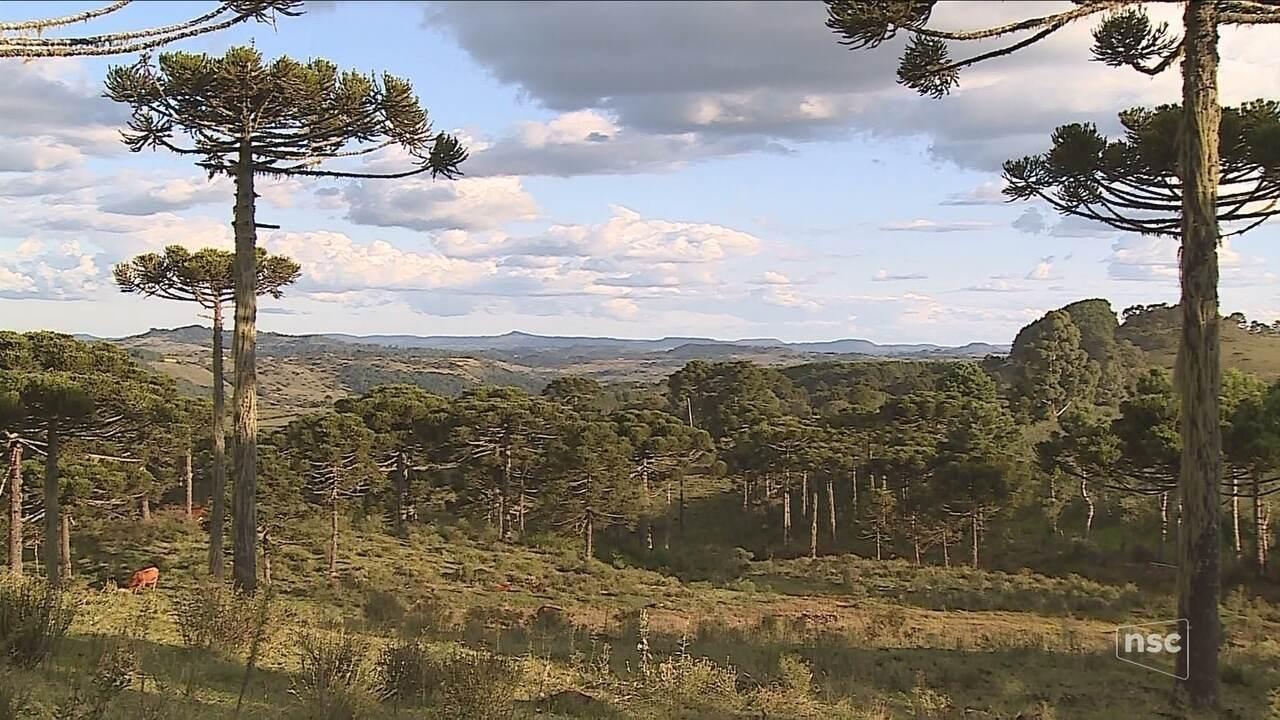 Crônica de sábado: Araucárias decoram paisagem e atraem turistas na Serra de SC