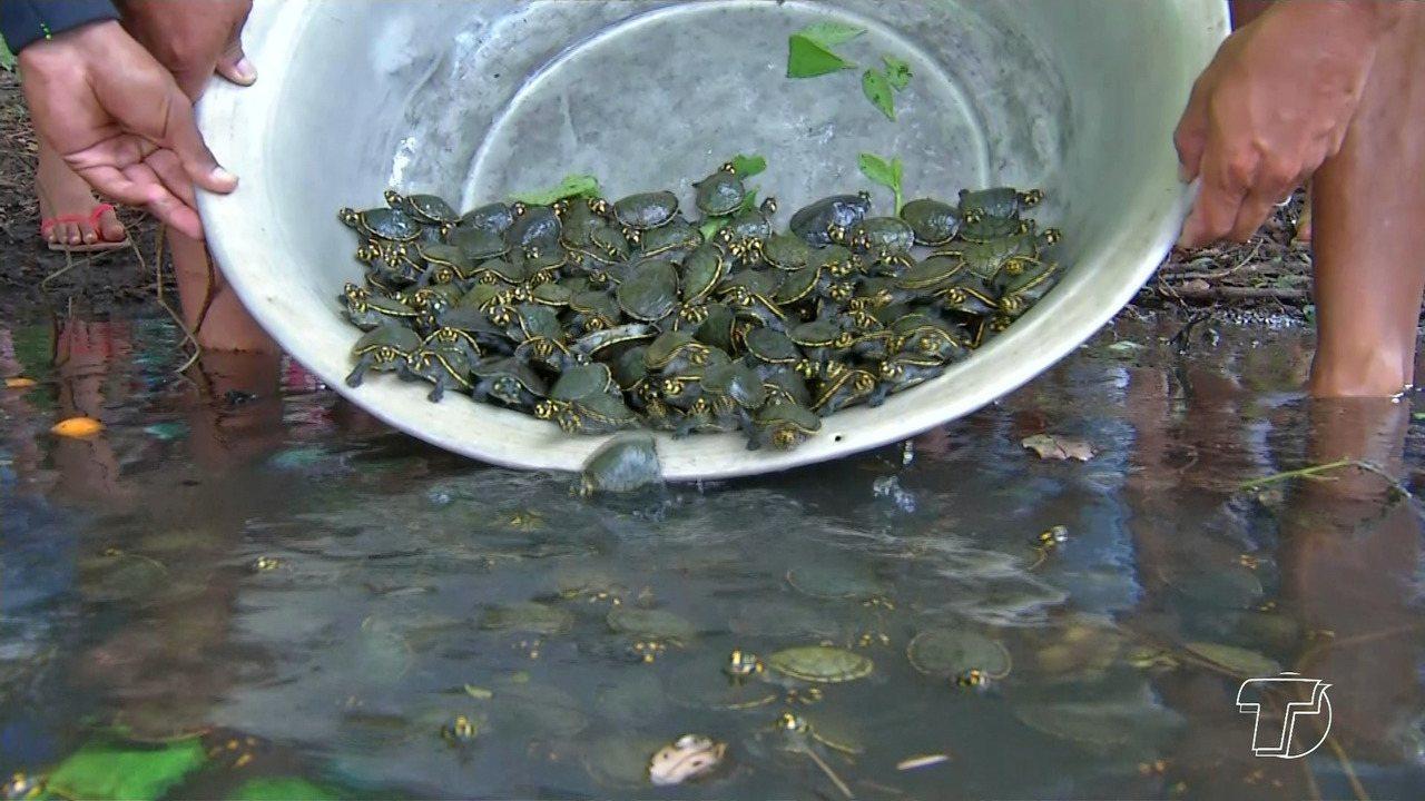 Comunitários de Correio do Tapará fazem soltura de centenas quelônios