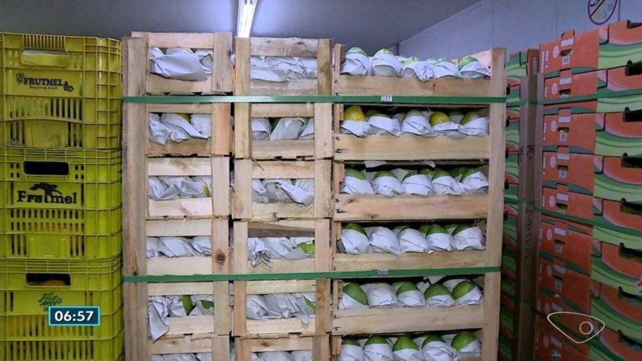 Produtores de mamão no Norte do ES doam toneladas da fruta