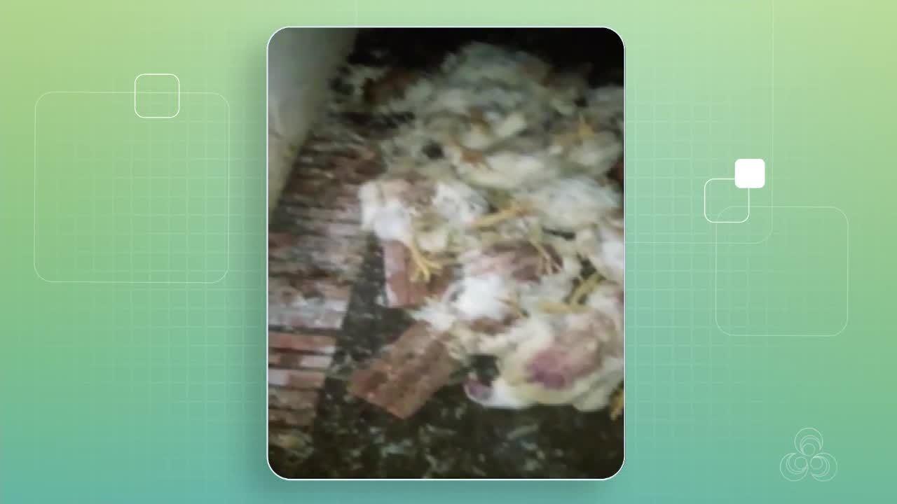 Mais de mil aves morreram, por falta de ração, no interior do estado