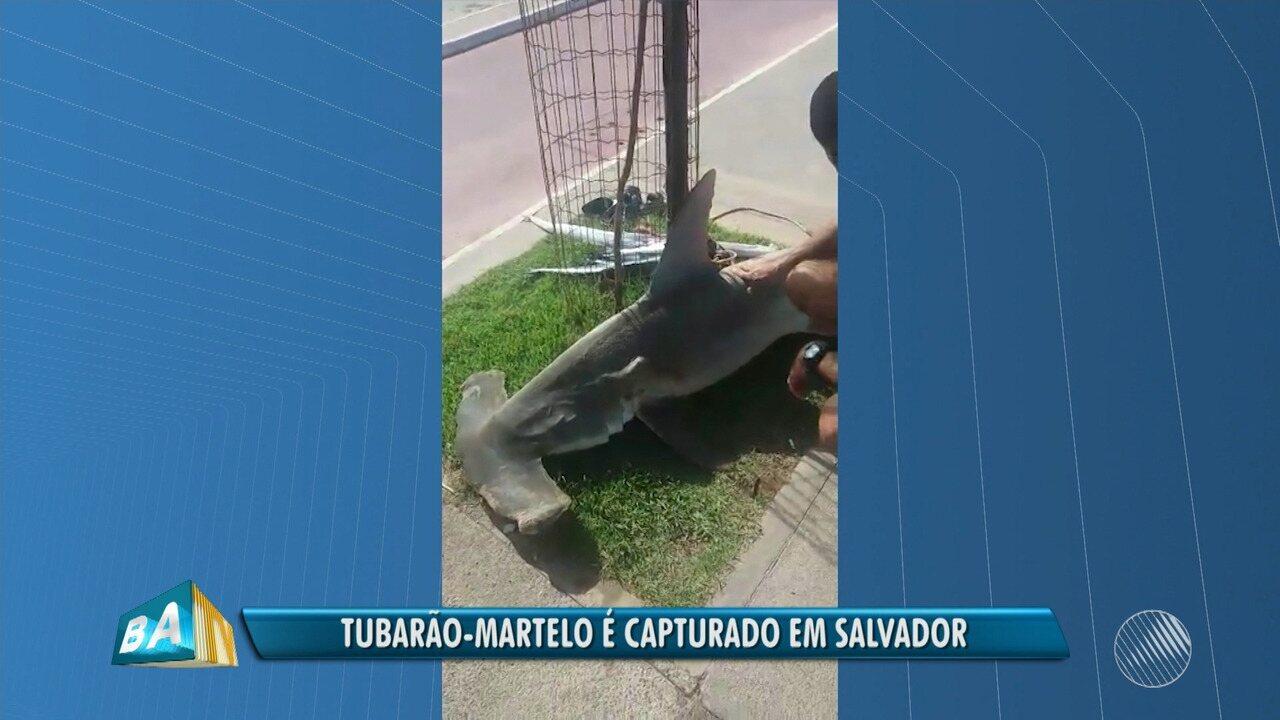 Tubarão martelo é capturado e morto por mergulhadores na praia de Armação