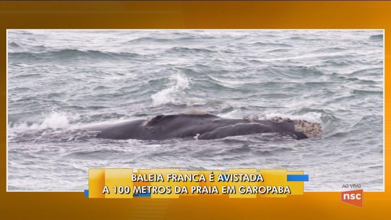 Baleia Franca é vista a 100 metros da praia de Garopaba