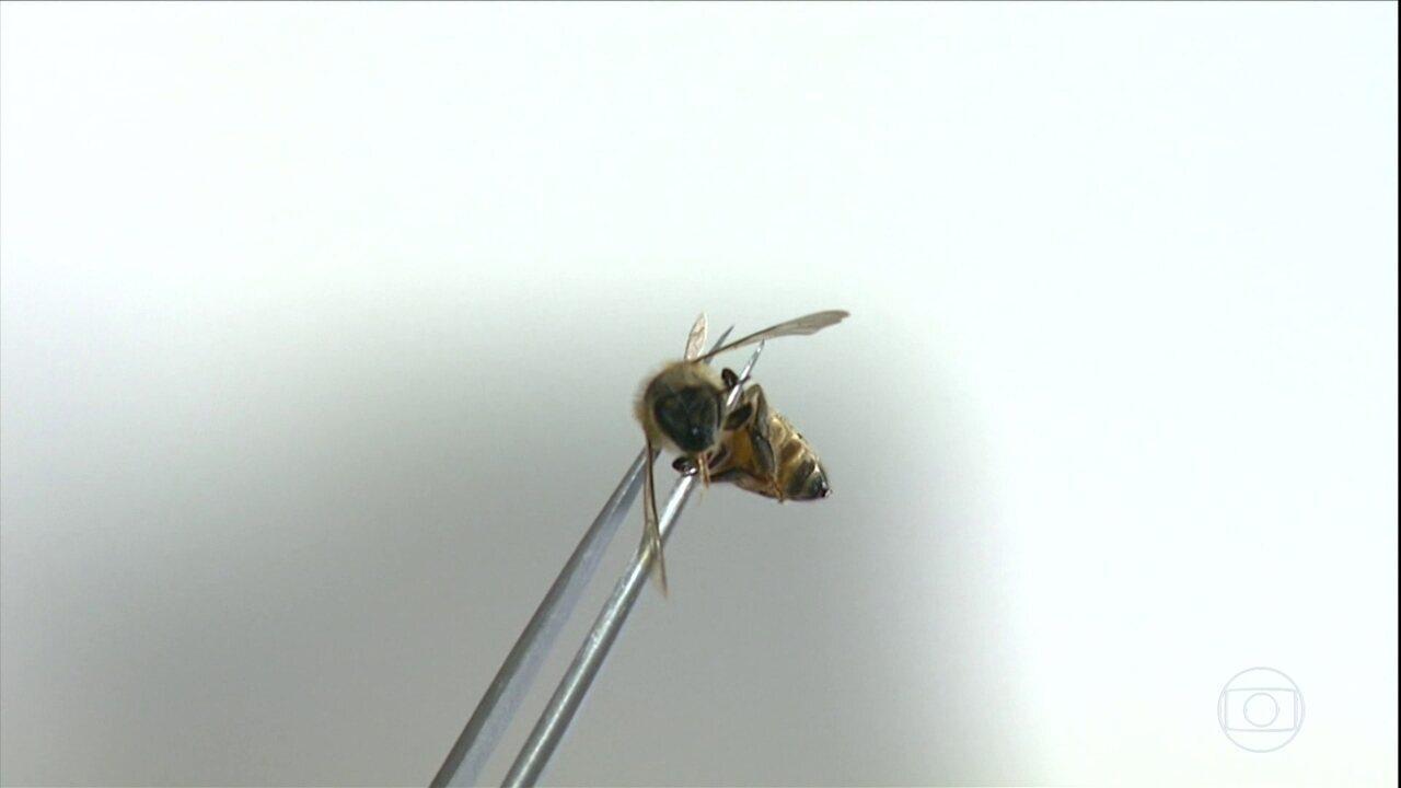 Apicultores de São Paulo enfrentam a morte de milhões de abelhas