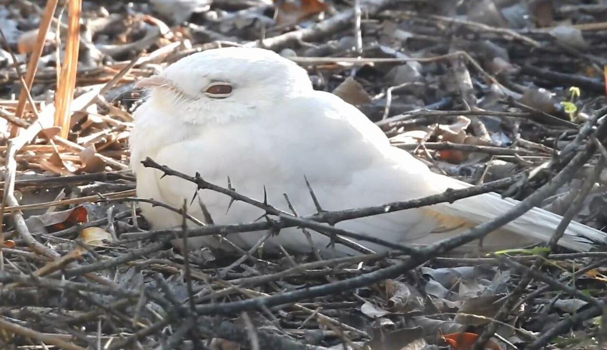 Registro raro de bacurau albino