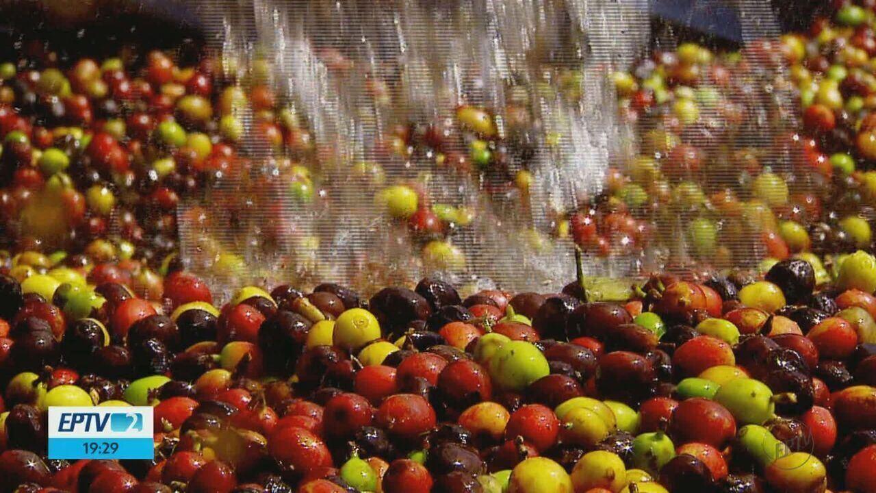 Técnica de fermentação do café aumenta o lucro de produtores de Caconde, SP
