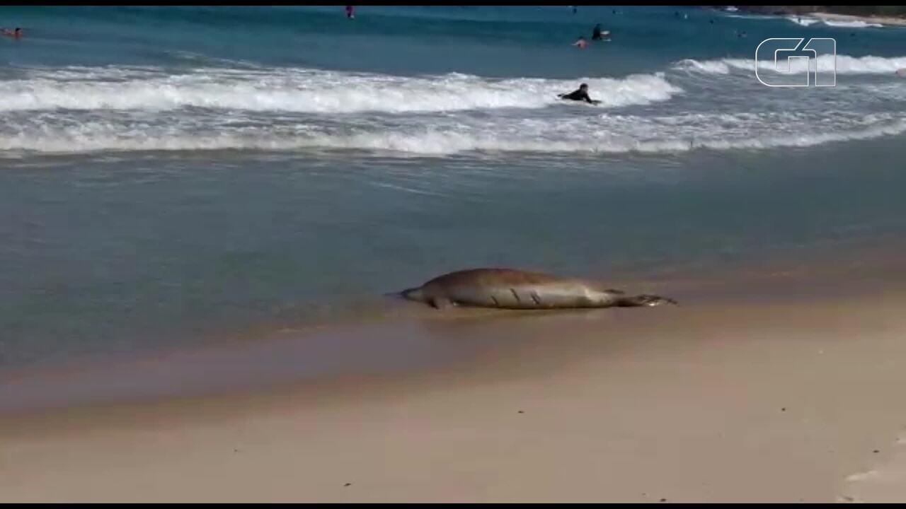 Foca volta para o mar após ser chegar Praia do Recreio