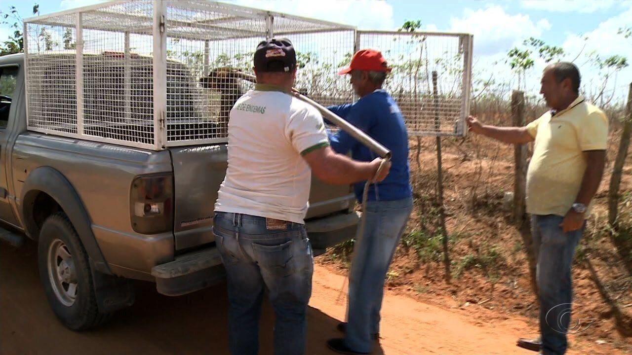Equipes da Zoonoses recolhem animais com doença Calazar em Arapiraca