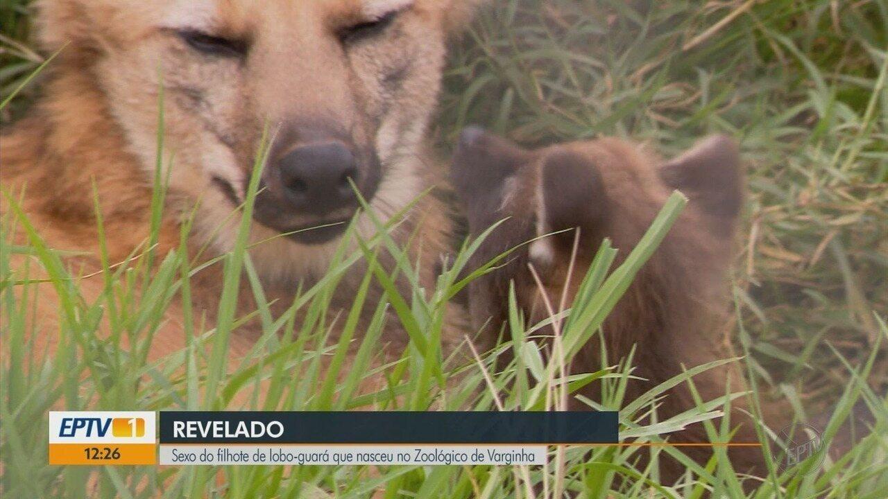 Filhote de lobo-guará nascida no Zoológico de Varginha (MG) é fêmea