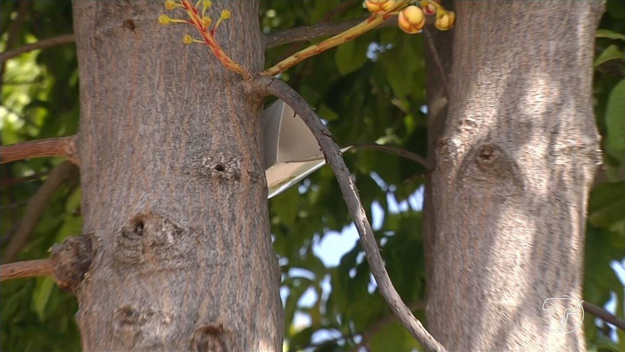 Armadilhas são colocadas em Santarém para monitorar ocorrência da 'mosca da carambola'