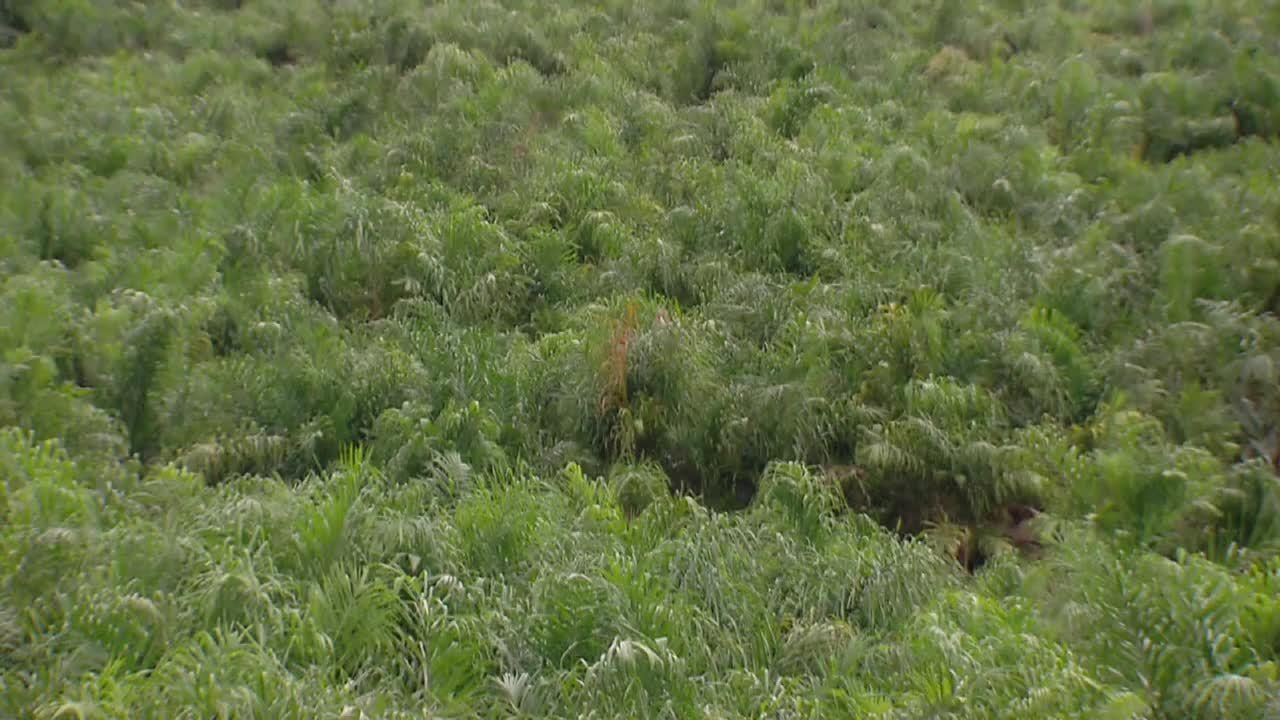 Cultura de pupunha avança no Vale do Ribeira