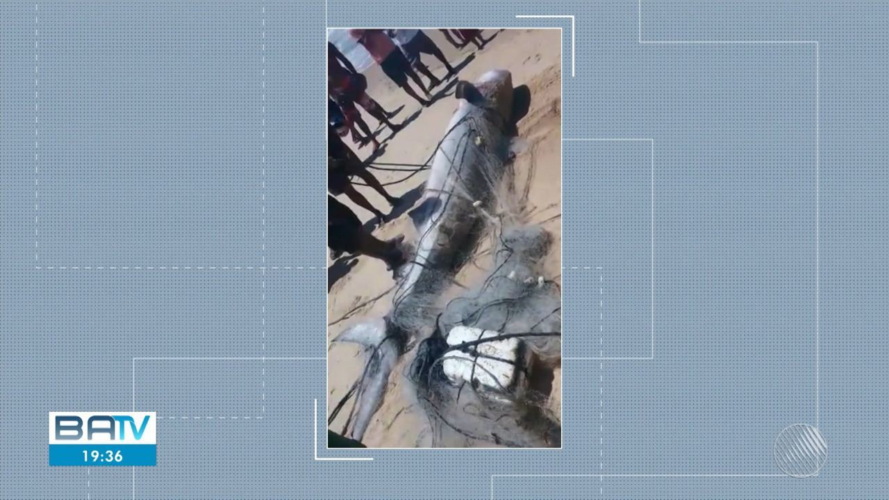Previsão do tempo: pescadores de Alcobaça encontram tubarão tigre, com 140 quilos