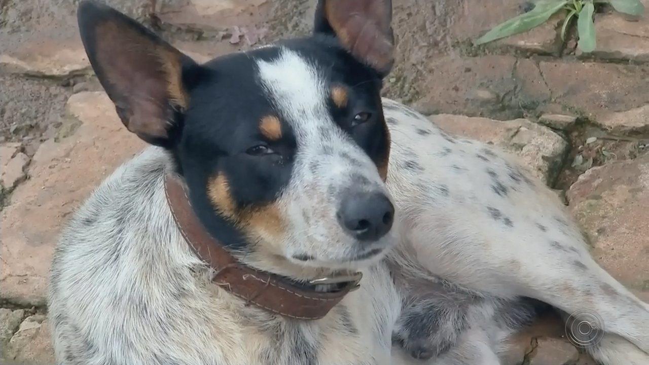 Cão agredido a pedradas em Gália é resgatado por ONG de Bauru
